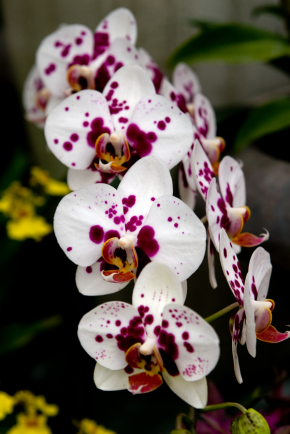Purple_spotted_white_phalaenopsis_orchid_blooms